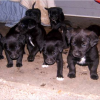 Free Black Lab Puppies