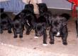 Free Black Lab Puppies