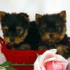 Healthy and intelligent teacup Yorkie puppies for free adoption