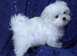 Maltese Puppies Up for Sale