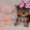 Lovely AKC Teacup Yorkie Puppies for Free Adoption
