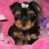 Well trained Teacup Yorkie Puppies Ready for X-mas