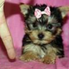 Tiny yorkie Puppies free For adoption