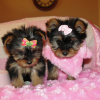 male and female Teacup Yorkie Puppies for free Adoption