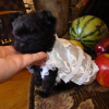 Healthy male and female teacup yorkie puppies for free adoption