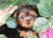 TINY YORKIE PUPPIES AVAILABLE NOW FOR SALE