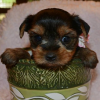 ADORABLE AKC Registered  Yorkie Puppies