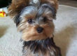 Adorable Male and Female Yorkie\'s Puppies For Sale